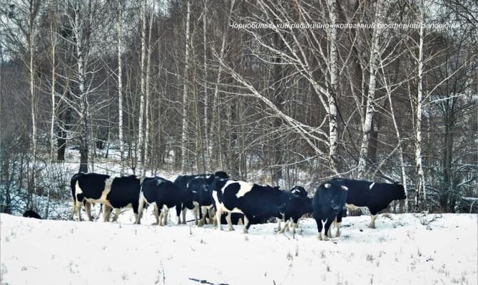 В Чернобыльском заповеднике появилось стадо одичавших коров